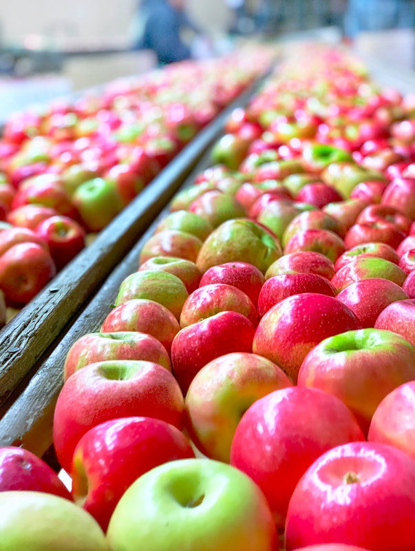 pink lady apples at boa vista orchards located in the apple hill farms area of placerville california